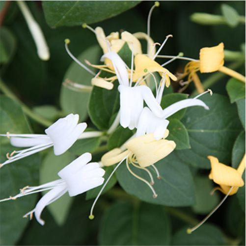Αειθαλή αναρριχώμενα φυτά