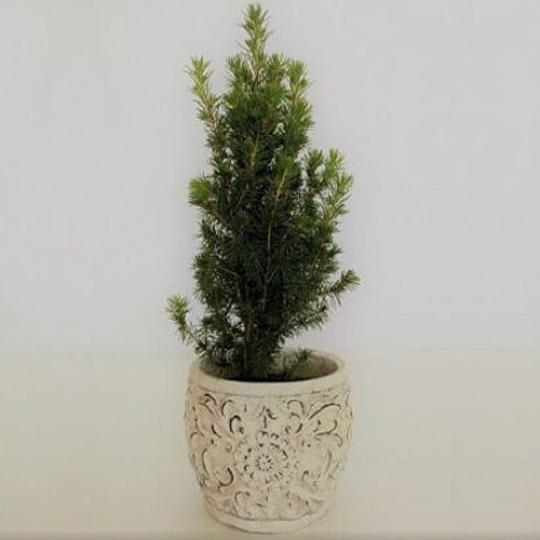 Picea Conica