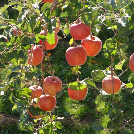 Rosaceae Malus pumila Malus pumila Var domestica Apples Fuji scaled
